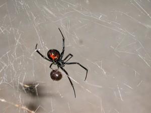 Sacramento-pest-control-black-widows