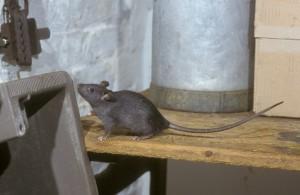 Pinnacle-Pest-Roof-Rat
