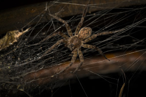 Pinnacle-Pest-WolfSpider