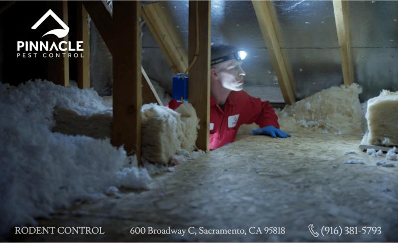 Pest exterminator in the attic