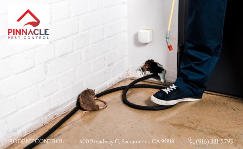 Exterminator dealing with a brown rat