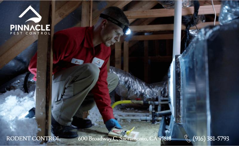 Rat exterminator putting a trap in the attic